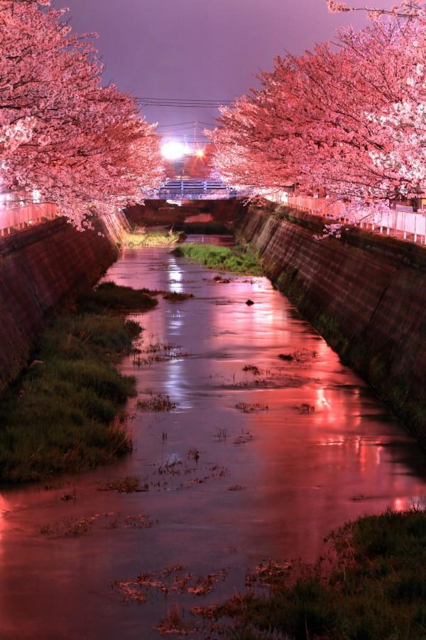 9絵下谷川の桜