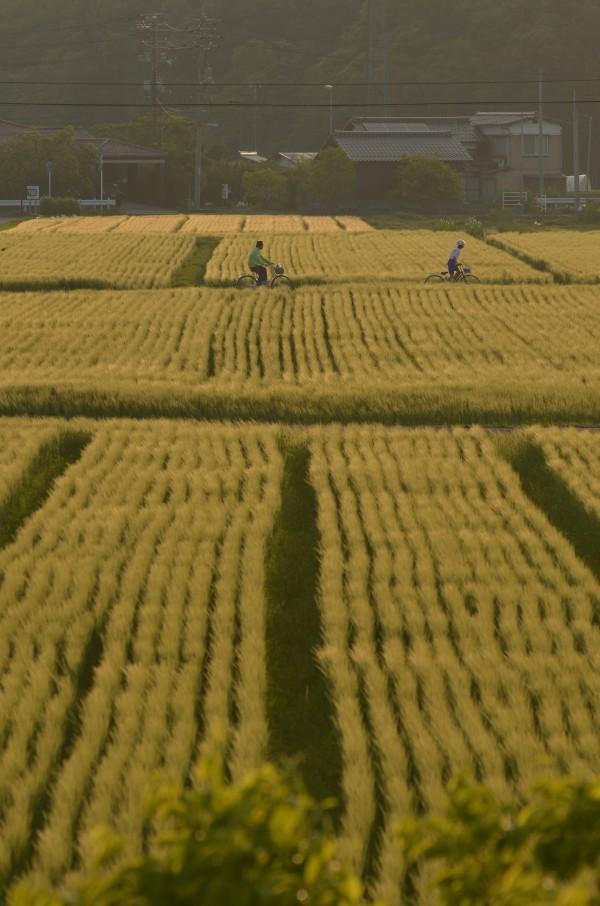 69上北条の麦畑