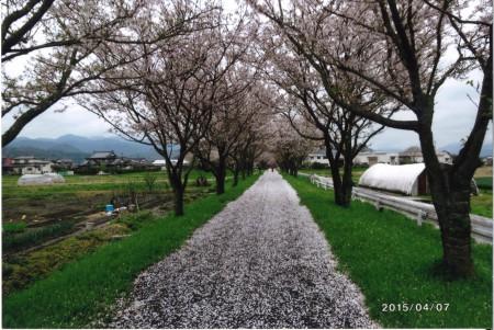 91桜並木